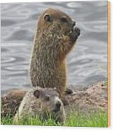 Baby Woodchucks Wood Print