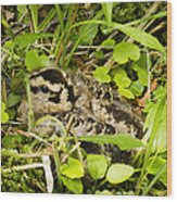 Baby Woodcock Wood Print by Thomas Pettengill