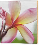 Back Of Plumeria Flower Wood Print