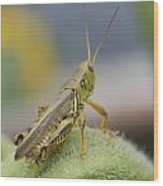 Back Side View Of Green Grasshopper....   # Wood Print