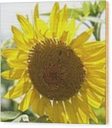 Backlit Sunflower Wood Print
