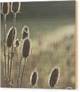 Backlit Teasel Wood Print