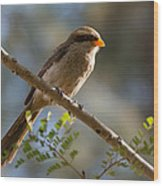 Backlit Yellow Billed Shrike Wood Print