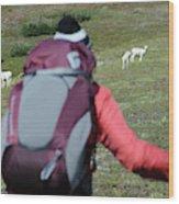 Backpacker Watches Dall Sheep Wood Print