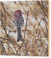 Backyard Birds Male House Finch Wood Print