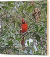 Backyard Cardinal In Tree Wood Print