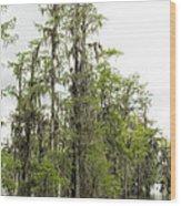 Bald Cypress - Axodium Distichum Wood Print