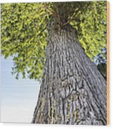Bald Cypress In Morning Light Wood Print