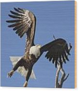 Bald Eagle Ascent 3 Wood Print
