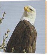 Bald Eagle-c Wood Print