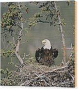 Bald Eagle Calling On Nest Alaska Wood Print