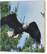 Bald Eagle Feeding 2 Wood Print