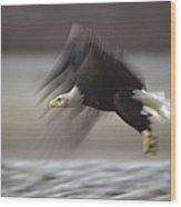 Bald Eagle Flying Alaska Wood Print