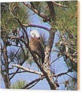 Bald Eagle Grooming Wood Print