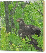 Bald Eagle In A Tree  Wood Print