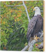 Bald Eagle In Fall Colors Animals Wood Print