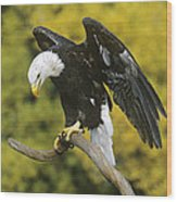 Bald Eagle In Perch Wildlife Rescue Wood Print