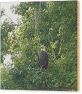 Bald Eagle In Sweetgum Tree Wood Print