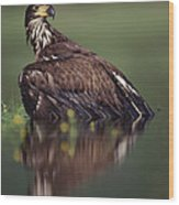 Bald Eagle Juvenile British Columbia Wood Print