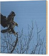 Bald Eagle Juvenile Landing In Tree Top Wood Print