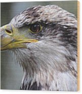 Bald Eagle - Juvenile - Profile Wood Print