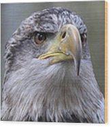 Bald Eagle - Juvenile Wood Print