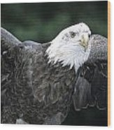 Bald Eagle Landing On Prey Wood Print