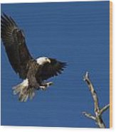 Bald Eagle Landing On Snag Wood Print
