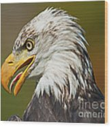Bald Eagle... Wood Print