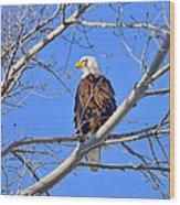 Bald Eagle Perched Wood Print