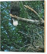 Bald Eagle Poses Wood Print