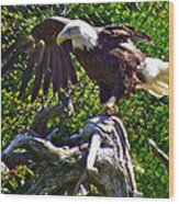 Bald Eagle With A Broken Wing In Salmonier Nature Park-nl Wood Print