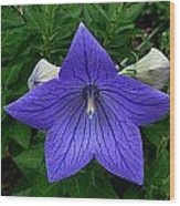 Balloon Flower Wood Print by Julie Dant