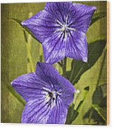 Balloon Flower Wood Print by Marcia Colelli