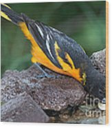 Baltimore Oriole Drinking Wood Print