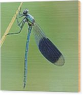 Banded Demoiselle Damselfly Wood Print