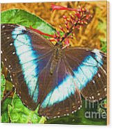 Banded Morpho Butterfly Wood Print