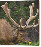 Banff Elk Wood Print