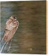 Bank Swallow Resting Wood Print