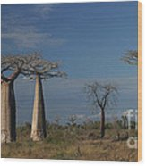 baobab parkway of Madagascar Wood Print