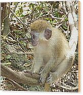 Barbados Green Monkey Wood Print