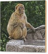 Barbary Macaque Wood Print