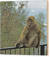 Barbary Macaque  Wood Print