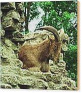 Barbary Sheep 2 Wood Print