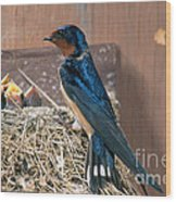 Barn Swallow At Nest Wood Print