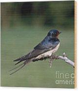 Barn Swallow Wood Print by Hans Reinhard