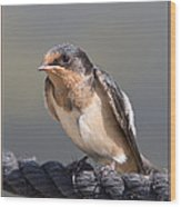 Barn Swallow On Rope I Wood Print by Patti Deters