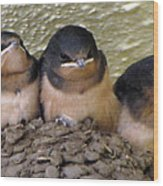Barn Swallows 1 Wood Print
