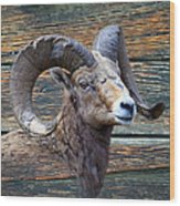 Barn Wood Bighorn Wood Print