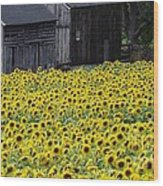 Barns And Sunflowers Wood Print